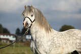 Nice welsh mountain pony stallion with halter