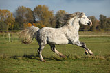 Welsh mountain pony stallion galloping