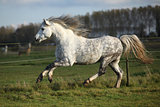 Grey welsh mountain pony stallion running