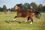 Gorgeous welsh mountain pony stallion with black hair