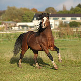Nice welsh mountain pony stallion running and looking at you