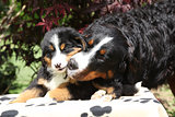 Bernese Mountain Dog bitch with puppy on blanket
