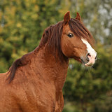 Portrait of chestnut welsh pony