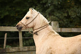 Portrait of palomino welsh pony