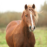 Portrait of welsh pony
