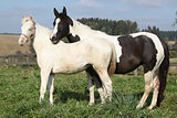 Albino and paint horse together