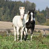 Albino horse with paint horse on pasturage