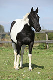 Paint horse mare standing on pasturage