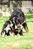 Bernese Mountain Dog bitch playing with puppies