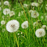 Blowball, taraxacum