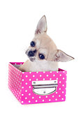 puppy chihuahua in craft