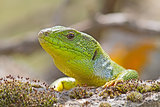 Green Lizzard Looking