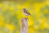 Spring Whinchat