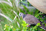 Proper tropical wild wood pigeon