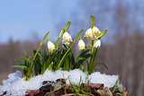 Group of Snowdrops in the snow on the forest background
