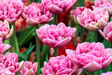 Tulips on flowerbed