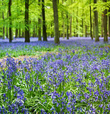 bluebell woods ashridge berkhamsted hertfordshire