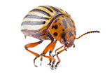 colorado beetle (Leptinotarsa decemlineata)