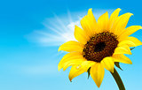 Background with sunflower field over cloudy blue sky. Vector