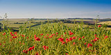 Poppy field landscape in English countryside in Summer