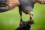 hawk bird