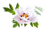 Peony Flower with Green Leaves