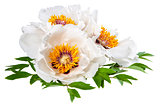 Three White Peonies Flower