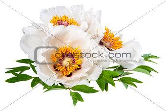 Three White Peonies Flower