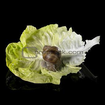 Grapevine snail on fresh green lettuce leaf