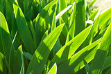 Green background made by iris flower leaves