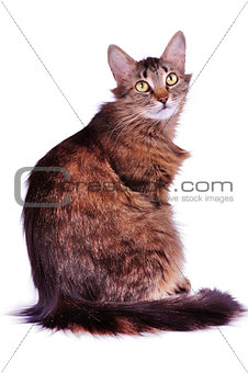 beautiful gray mixed-breed cat isolated over white