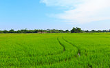 Natural field of rice.