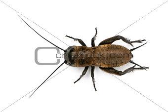 Mediterranean field cricket - Gryllus bimaculatus