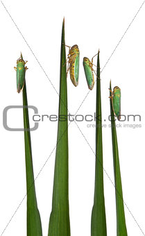 Green Leafhoppers on a grass blade - Cicadella viridis