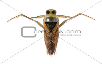 backswimmers - Notonecta glauca in front of a white background
