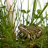 Common European frog or Edible Frog, Rana esculenta in grass, wi
