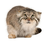 Pallas's cat, Otocolobus manul, 11 years old, in front of white background