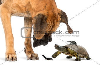 Great Dane looking at a turtle and insects, isolated on white