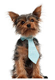 Yorkshire Terrier wearing tie, 7 months old, in front of white background