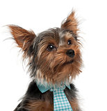 Close-up of Yorkshire Terrier wearing tie, 7 months old, in front of white background