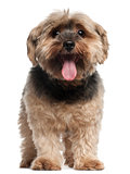 Yorkshire Terrier, 6 years old, sitting in front of white background