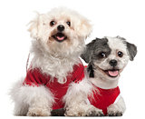 Maltese, 6 years old, and Shih Tzu, 5 years old, dressed in red and sitting in front of white background
