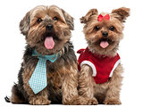 Yorkshire Terriers dressed up, 4 and a half and 7 years old, sitting in front of white background