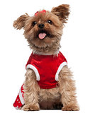 Yorkshire Terrier wearing red, 4 and a half years old, sitting in front of white background