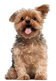 Yorkshire Terrier, 4 and a half years old, sitting in front of white background
