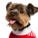 Close-up of Yorkshire Terrier wearing red, 2 years old, in front of white background