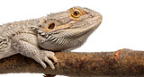 Close-up of Pogona lying on a branch in front of white background
