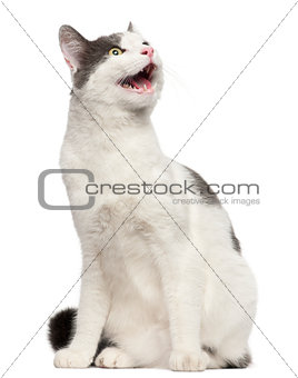 Cat hissing in front of white background