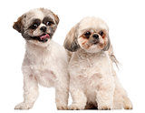 Shih Tzus, 3 years old, in front of white background