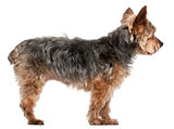 Yorkshire Terrier, 14 and a half years old, standing in front of white background